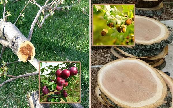 چوب درخت بلوط - چوب درخت سیب
